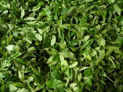 Tea leaves set out to begin withering